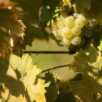 Daruvar-Badel-winery-12
